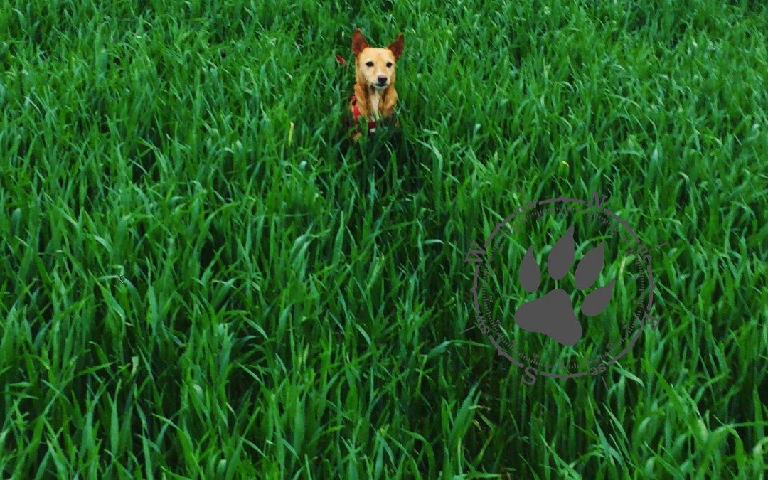 C wie Chihuahua trifft auf Schäferhund
