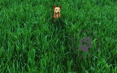 Chihuahua trifft auf Schäferhund